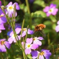 дикие пчелы уже собирают нектар с цветков в садах.Весна.) :: Елена Мартынова