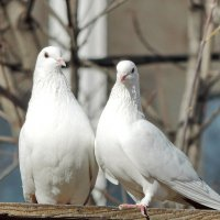 Голуби в нашем дворе. :: Геннадий Александрович