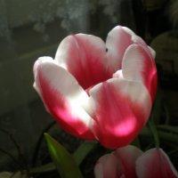 Солнечный тюльпан :: Татьяна Пальчикова