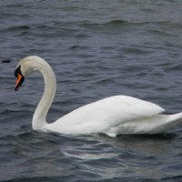 Лебедь :: ЕЛЕНКА Литвиновская