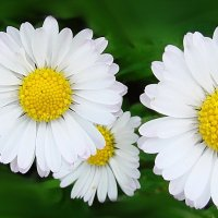 Цветочки маргаритки :: Владимир Гилясев
