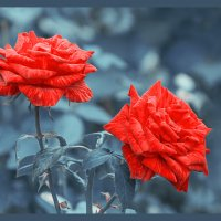 розы :: ♕ Svetlana FOTO Evseenko