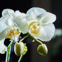 орхидея цветет :: Константин Диордиев