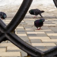 любопытный голубь :: Арсений Корицкий