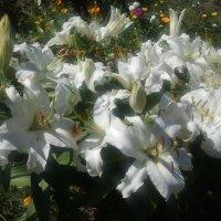 Белые лилии :: Андрей Зайцев