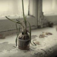 Увядающая луковица на старом подоконнике :: Михаил Онипенко
