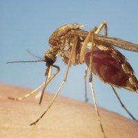 Дальневосточный комарик :: Николай Сапегин