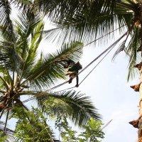 сбор кокосов :: val58rus колтин