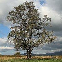Любимое дерево :: Александр Ваюш