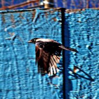 Пролетая вдоль синего забора... :: Александр Зотов
