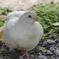 то ли курица , то ли колубь . . :: Борис