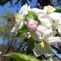 пчела и яблоневый цвет :: Галина Pavel