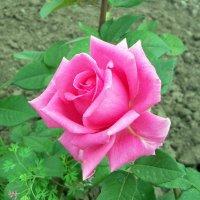 Розовая роза :: Галина Pavel