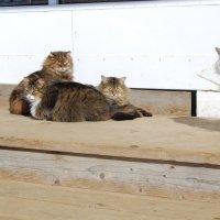Мартовские коты. :: Нелли *