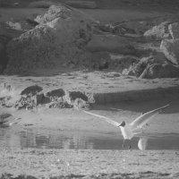 чайка :: Денис Говорилкин