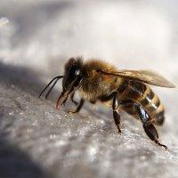 пчела ищет воду :: Александр Русинов