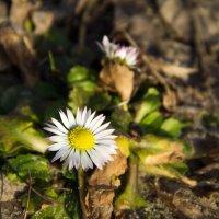 Первые цветы новой весны :: Ольга Семенова