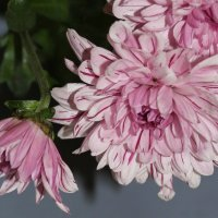Поникшие розовые хризантемы :: Наталья Золотых-Сибирская
