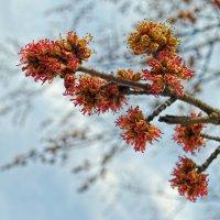 Кистью мягкою весна на ветвях рисует почки :: Лидия Цапко