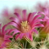 Цветущий кактус (1) :: Николай Емелин