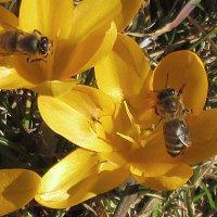 Первые крокусы - первые пчёлы. :: Sergey Serebrykov