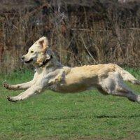 Летящая собака :: Ann Kalashnik