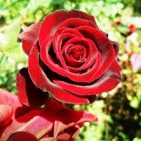 Роза :: Julia Martinkova