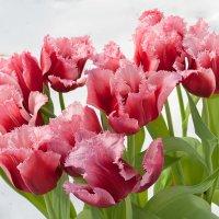 Мартовское цветение тюльпанов сорта КАНАСТА :: Ольга Дядченко