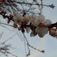веточка абрикосы :: Дарья Неживая