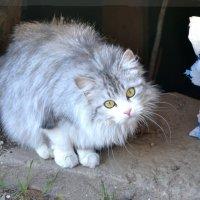 Вот такой я не аллергенный кот! :: Михаил Столяров