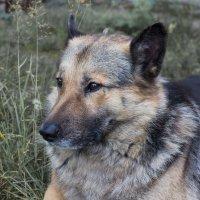 пёс :: Дамир Белоколенко