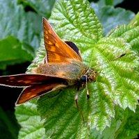 Бабочка Толстоголовка  запятая (Hesperia comma L.), самка :: Генрих Сидоренко