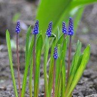 Синяя весна :: Ольга Винницкая