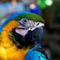 Попугай,говорящий на иврите :: Leonid Korenfeld