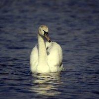Лебедь... :: Алексей Климов