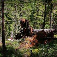 Сказочный лес Алтая :: Павел Сухоребриков