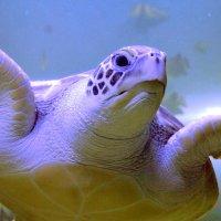 черепаховый портрет :: pavel belov
