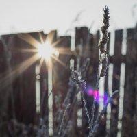 Замерзший колосок в -40 ранним утром р.н Усть-Каменогорская ГЭС :: Андрей Акулинин
