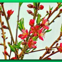 Персики цветут :: Юрий Владимирович