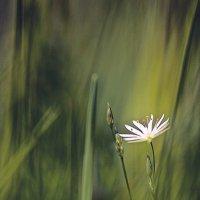 ...цветок,затерянный в траве.. :: Галина Юняева