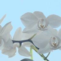 Орхидея :: Вячеслав Лымарь