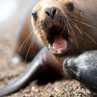Морские львы в дикой природе, Аргентина (Патагония, Вальдес) :: Lena Pavlova