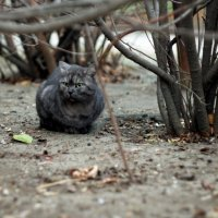 Серый кот :: Андрей Агафонов