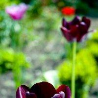 Чёрный тюльпан. :: Николай Сидаш
