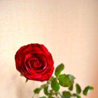 Роза :: Мария Родина