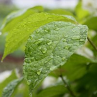 Капли на листьях :: Светлана Видякина