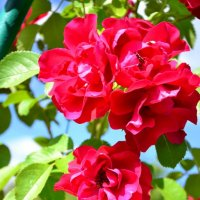 Розы :: Арина Шибаева