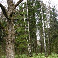 Лес весной :: Vera Erchinskaya