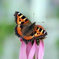 Бабочка :: Анастасия Степанова