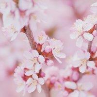Миндаль цветет :: Анастасия Глазнева